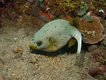Dog faced puffer 02 Stock Image