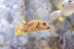 Dog-faced puffer Stock Photography