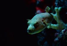 Dog-faced pufferfish Stock Photography
