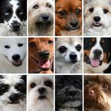 Collage of different dog faces. Dog faces, eyes and snouts,  of nine different purebred dogs , collage royalty free stock photography