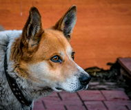 Dog, faithful companion, pet, red, gaze, sharp gla. Guard, guard, wait, who is you who, pointed ears Royalty Free Stock Photography