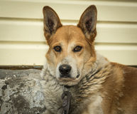 Dog, faithful companion, pet, red, gaze, sharp gla Royalty Free Stock Photos