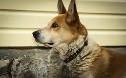 Dog, faithful companion, pet, red, gaze, sharp gla. Guard, guard, wait, who is you who, pointed ears Stock Image