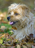 Dog in fall leaves - Norfolk Terrier stock photo