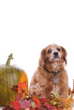 Dog Fall Portrait. An elderly Cockapoo dog is posing for his fall portrait next to a large pumpkin, isolated against a white background along with extra Royalty Free Stock Image
