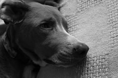 Dog Falling Asleep on Blanket in Black and White Stock Photo