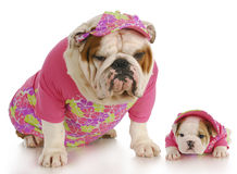 Dog family. English bulldog mother and puppy wearing matching pink outfits on white background Stock Images