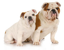Dog family Royalty Free Stock Photos