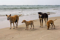 Dog family on the beach, Goa, India Royalty Free Stock Photo