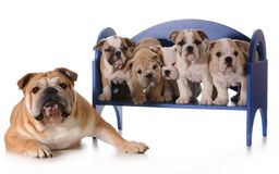 Dog family Stock Images