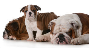 Dog family Royalty Free Stock Images