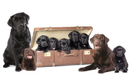 Dog family Labrador Royalty Free Stock Photography