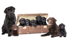 Dog family Labrador. Labrador puppies litter, dog family royalty free stock photography