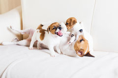 Dog family playing on a sofa Royalty Free Stock Image
