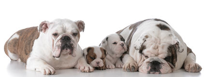 Dog family with puppies Royalty Free Stock Images