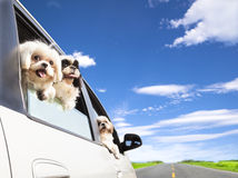 Dog family traveling road trip. In outdoors royalty free stock photography