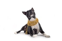 Dog and fancy collar on white Royalty Free Stock Photo