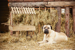 Dog in the farm Royalty Free Stock Photography
