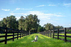 Dog on farm Royalty Free Stock Image