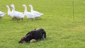 Dog on a farm goes into cover before geese stock video