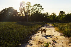 Dog in farm at sunset Royalty Free Stock Photography