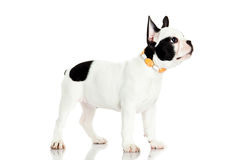 Dog faschion french bulldog isolated on white background Royalty Free Stock Images