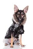 Dog of fashion Stock Photography