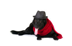 Dog in fashion hat and  muffler Royalty Free Stock Images