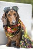 Dog Fashion. Humanlike dachshund dog with fashionable scarf and sun glasses Stock Photography