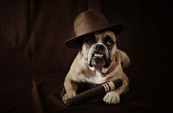 The dog father. An English Bulldog dressed up as the dog father with his cigar in his hat stock photography