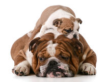 Dog father and son Royalty Free Stock Images