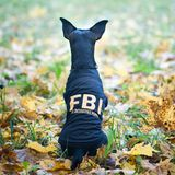 Dog is an FBI agent. Funny puppy toy terrier in costume fbi. The dog is a detective Stock Photo