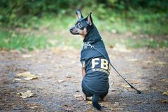 Dog is an FBI agent. Funny puppy toy terrier in costume fbi. The dog is a detective Royalty Free Stock Images