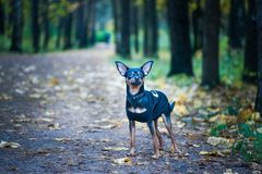 Dog is an FBI agent. Funny puppy toy terrier in costume fbi. The dog is a detective Royalty Free Stock Image