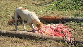 Dog feeding on calf skin. A calf was sacrificed, leaving its skin for later home treatment, was placed on two trunks to dry with the sun, then a dog came to royalty free stock image