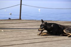 Dog feeding on a pier on Lake Ohrid Stock Photo