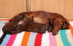Dog feeding puppies Royalty Free Stock Photos