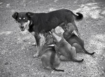 The dog feeds puppies. The dog feeds the hungry puppies Royalty Free Stock Photos
