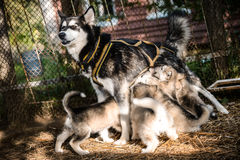 Dog feeds puppies royalty free stock images