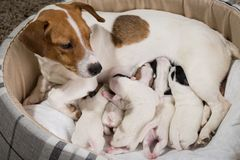 Dog feeds the puppies, Jack Russell Terrier. The dog feeds the puppies of the newborn breed Jack Russell Terrier, Age six days royalty free stock images