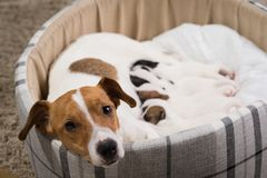 Dog feeds the puppies,  Jack Russell Terrier. The dog feeds the puppies of the newborn breed Jack Russell Terrier, Age six days Royalty Free Stock Photography