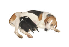 Cобака and puppies. The dog feeds two small puppies Stock Photography