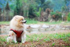 Dog feels lonely. Sitting in the grass looking for a boss Royalty Free Stock Photo