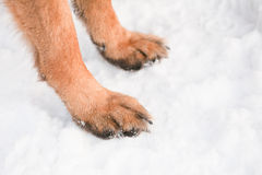 Dog feet Royalty Free Stock Images