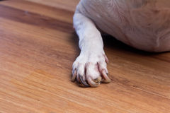 Dog feet with nail problem Royalty Free Stock Image