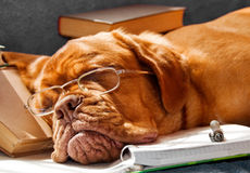 Dog Fell Asleep Stock Photography