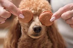 Dog. Female hands hold macaroons. Royalty Free Stock Images