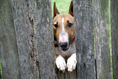 DOG IN FENCE Stock Image