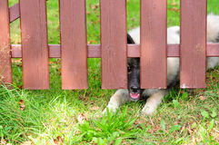 Dog fence locked Wolfspitz Stock Photo
