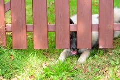 Dog fence locked Wolfspitz. Dog fence locked garden gate stock photo
